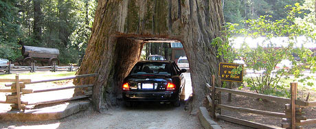 Drive Thru Tree, Avenue of the Giants, courtesy of the superash