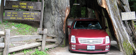 Driving through the drive-thru tree