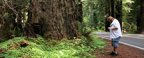 Louis surrounded by huge Redwood trees